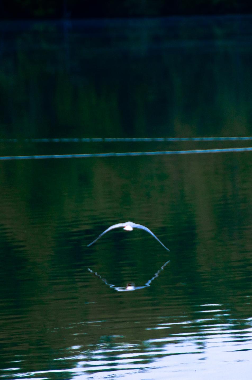 fågel vatten bird water