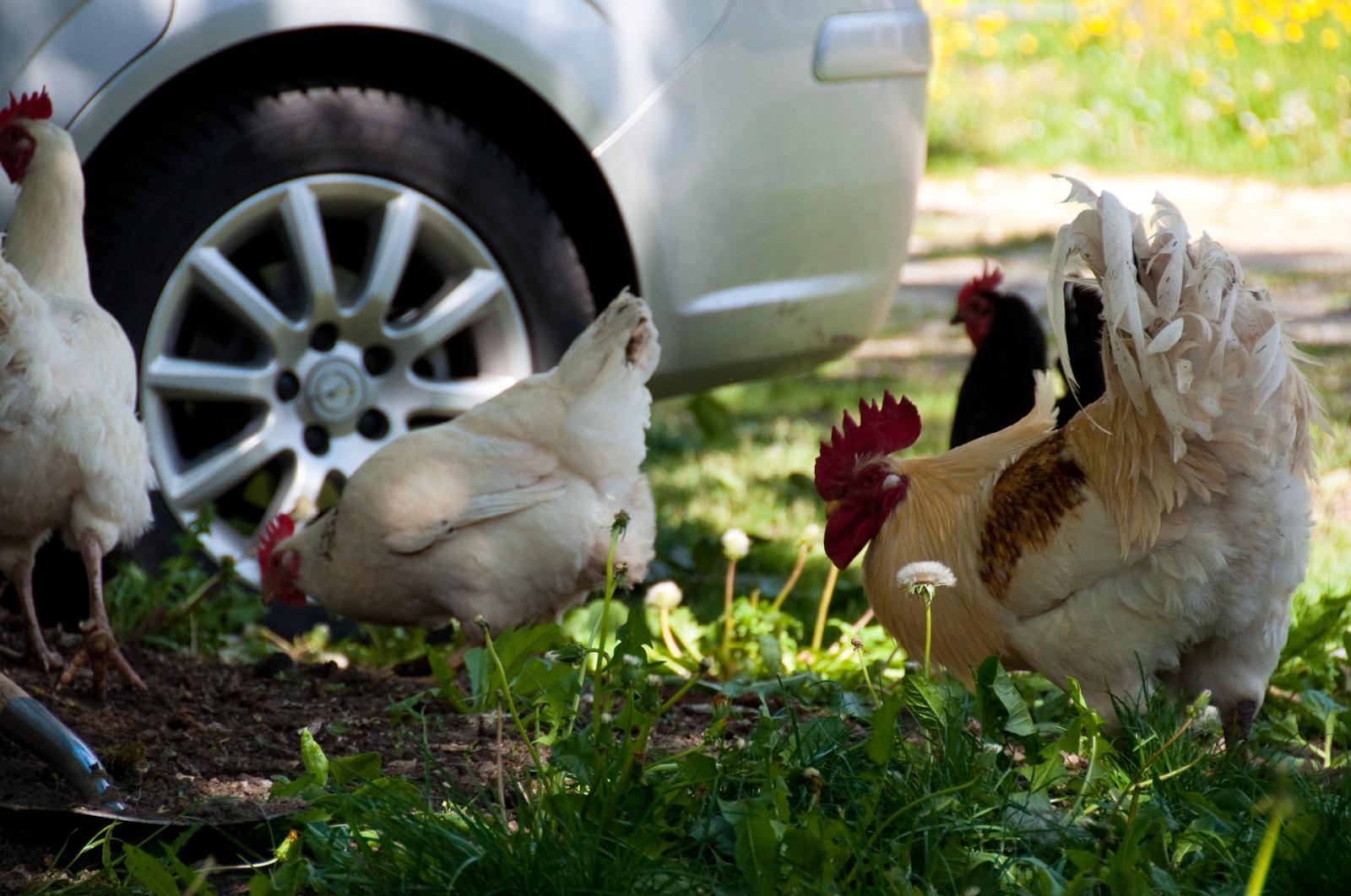 bil höns chicken car hen