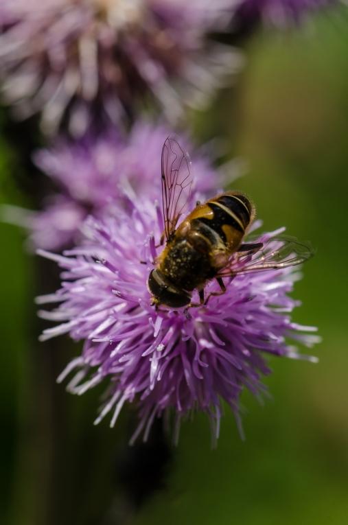 Blomfluga på tistel