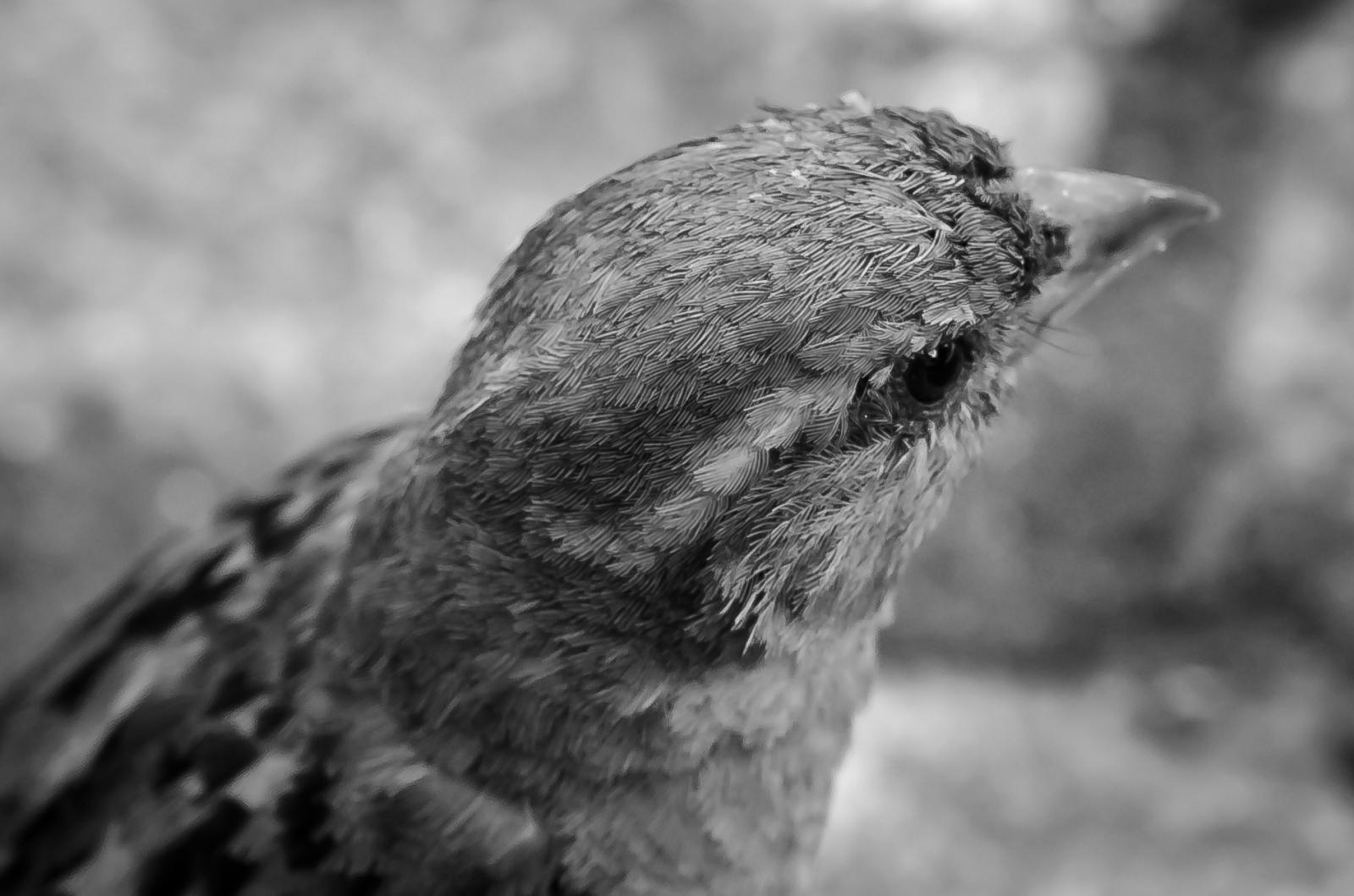 Gråsparv huvud fjäderdräkt