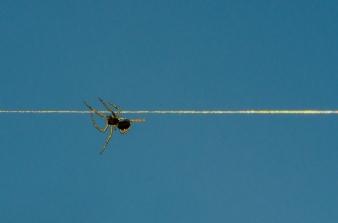 En 3 mm stor spindel poserar