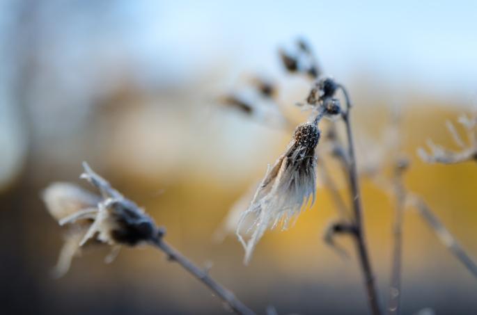 Frostnupet