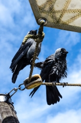 Raggfåglar