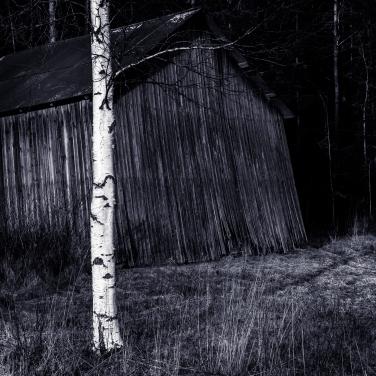 Den svenska björkstammen