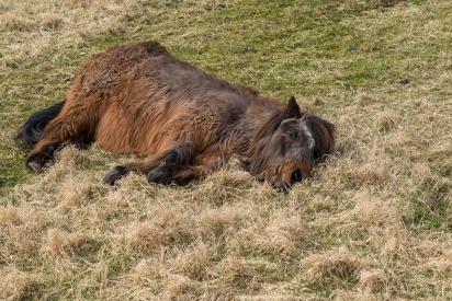 Döende häst