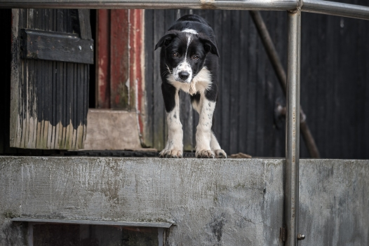 Fårhund in training