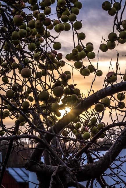 Missad äppelskörd