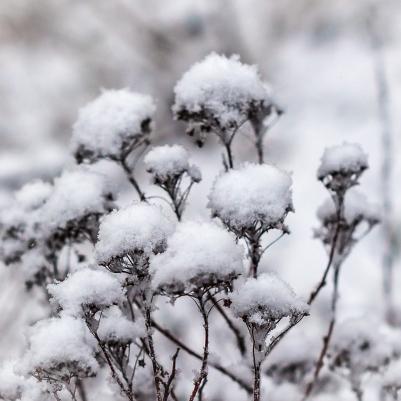 Snöbollsbuske