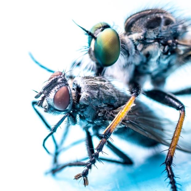 Rovstekel sörplar ur fångad fluga