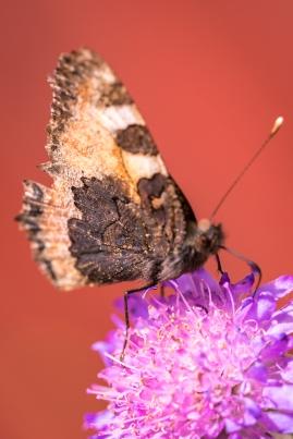 Nässelfjäril, mindre snygg undersida